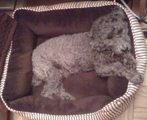 Hugo in dog bed