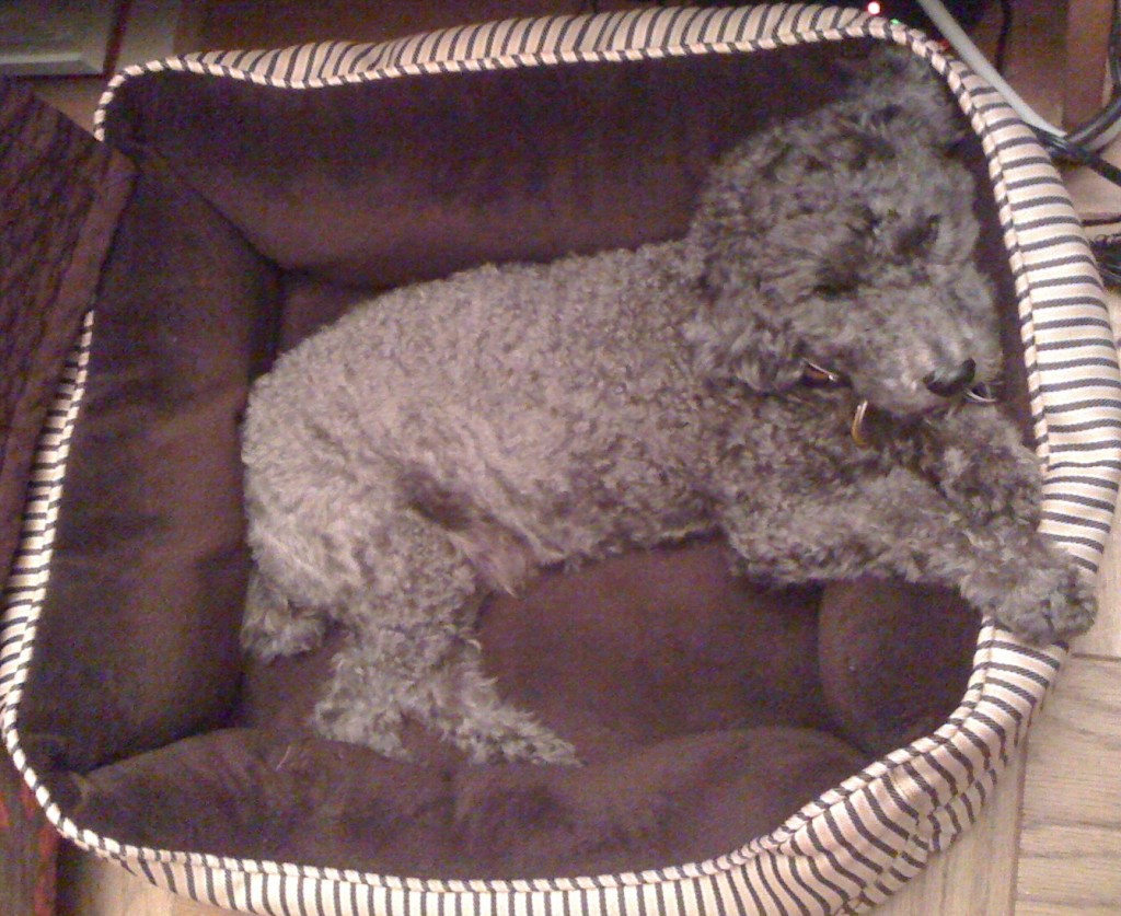 Hugo in dog bed