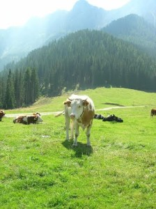 Cow on Mountain